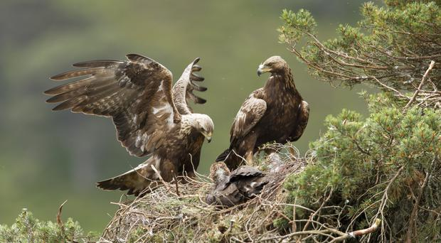 It is hoped the woodland will support wildlife which can be found in the area such as golden eagles (Mark Hamblin/PA)