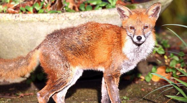 A fox has attacked a baby boy in south east London