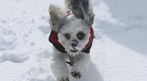 A shih-tzu dog plays in the snow in Hexham in Northumberland
