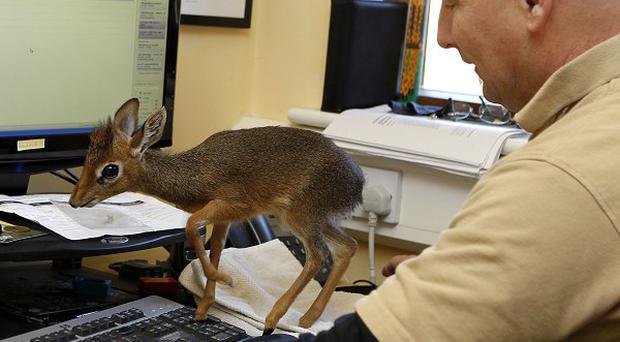 Tim Rowlands takes Kirk's dik-dik antelope Aluna to work with him