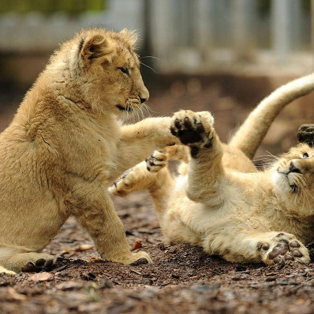 Four-and-a-half month old Asiatic lion cubs Kamran and Ketan play in their new home (PA)
