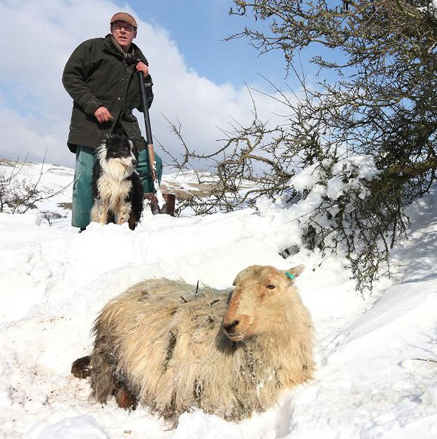 Gareth Wyn Jones and his sheepdog Cap with a pregnant sheep which was trapped for four days beneath snow on his farm in North Wales