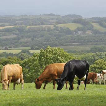 Two men were trampled by a herd of cows in Wiltshire