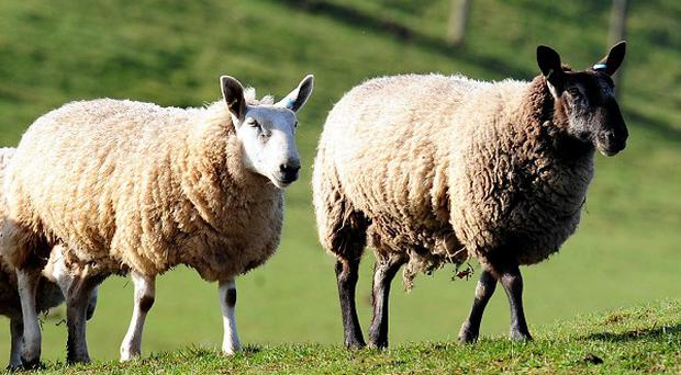 Schmallenberg virus has been seen in cattle and sheep in the UK since early 2012