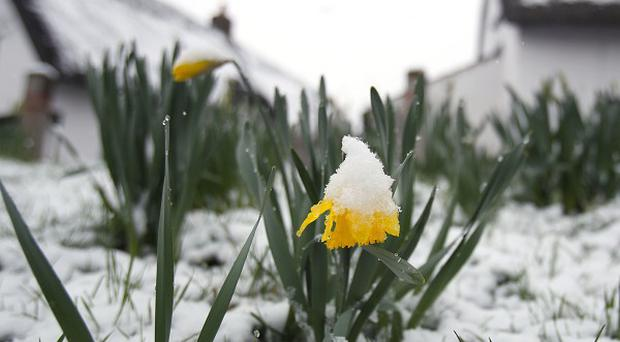 A snow covered daffodil in March this year at Thriplow in Cambridgeshire