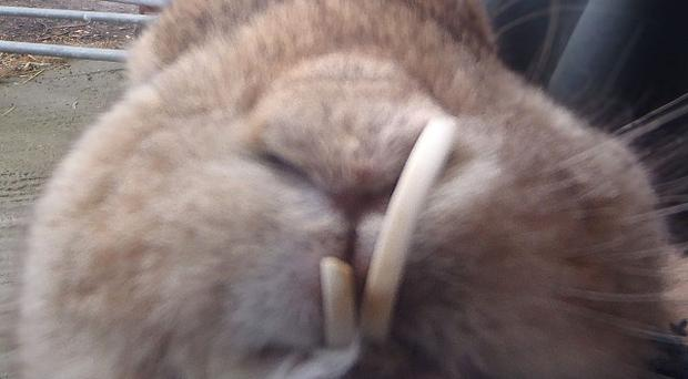The rabbit was being sold at Stratford-upon-Avon livestock market with overgrown teeth (Warwickshire Trading Standards Service/PA)