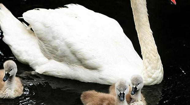 Eighty swans have been removed from the River Thames due to a mystery oil spill which is baffling authorities