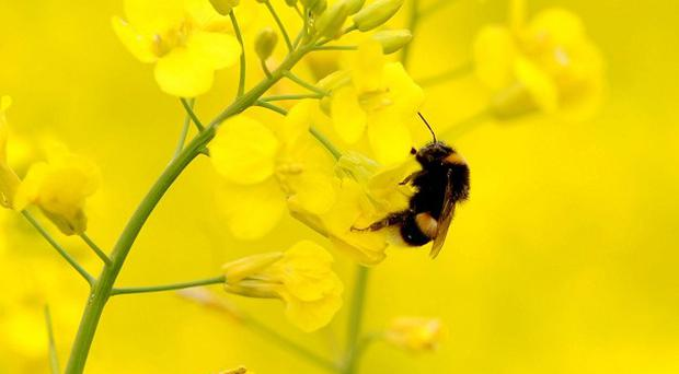 Many species of bee and other pollinating insects have declined in recent decades