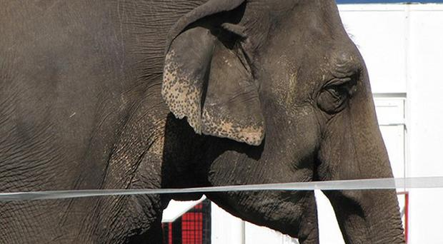 Plans to ban wild animals from circuses in England should be redrawn so that only elephants and big cat species are covered, MPs say (Animal Defenders International)