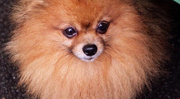 The dog killled in the attack was a Pomeranian