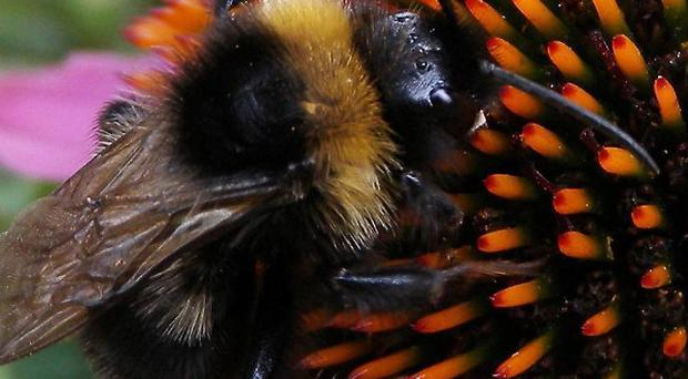 Two of the UK's 25 bumblebee species have become extinct and a further eight have seen significant declines since 1940