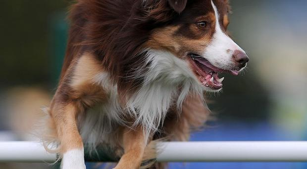 A dogs competes in the Kennel Club International Agility Festival at Rockingham Castle, Market Harborough