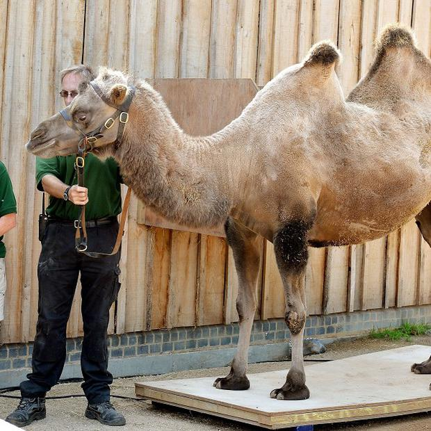 Noemie, the Camel, stands on a set of electronic scales and is weighed, during the annual stock take of weights and sizes at London Zoo