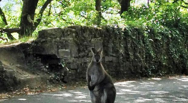 A wallaby has been spotted outside the Pennine village of Slaithwaite, near Holmfirth, West Yorkshire