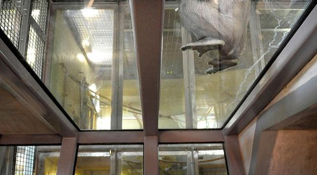 A gorilla sits on the glass roof of the new viewing area in the extended Gorilla House at Bristol Zoo