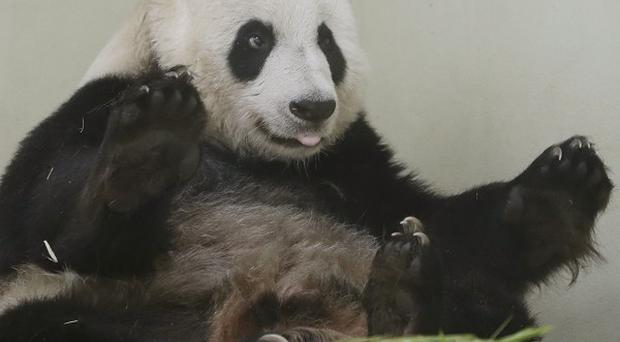 Edinburgh Zoo panda keepers will have access to CCTV footage in their homes to look for signs of Tian Tian starting labour