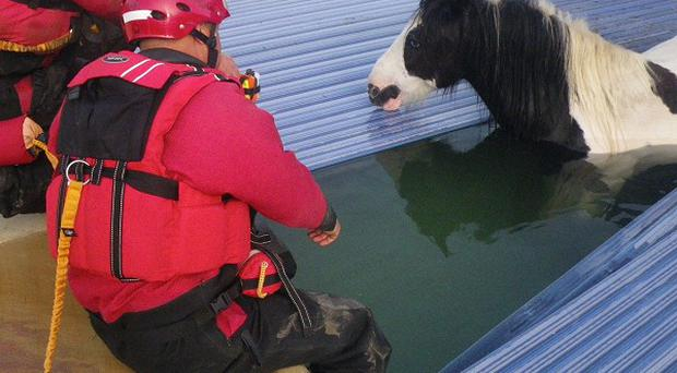 A stray pony sparked an unusual rescue operation after plunging through the hard cover of a swimming pool and getting stuck ( RSPCA/PA)