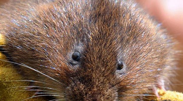 The number and extent of key areas for water voles have shrunk, new figures show