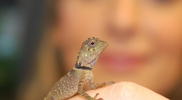 Zookeeper Ruth Smith poses with a rare baby Bell's anglehead lizard that has hatched at Chester Zoo (Matt Cook/Chester Zoo/PA)