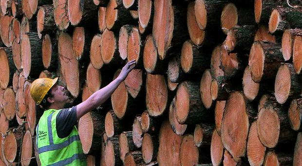 Forestry Contractor Alan Morris inspects logs from recently felled trees during clear-felling of larch trees in Wentwood Forest, in Wales, due to a tree disease