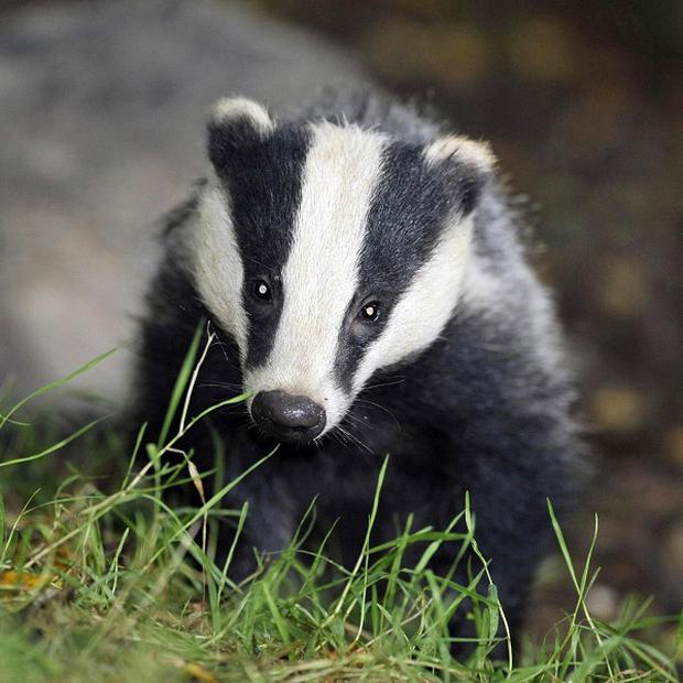A pilot badger cull is to continue