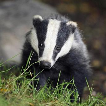 Scientists have released date suggesting badgers are more likely to spread disease when their social networks are perturbed.