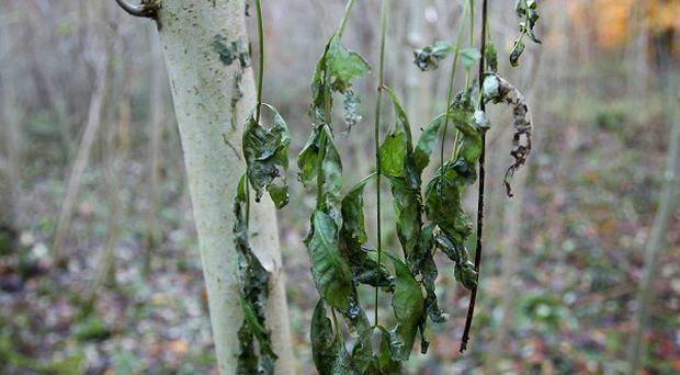 There are fears that ash dieback could take hold across the country