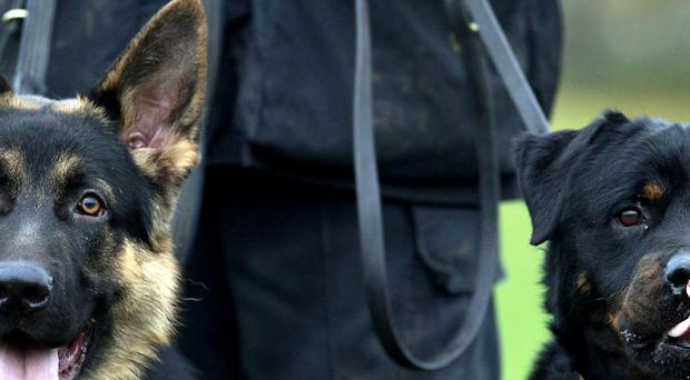 German Shepherd police dog Archie, left, and Buster, a Rottweiler police dog at Greater Manchester Police's Dog training Unit at the force's Hough End Training Centre in Manchester.