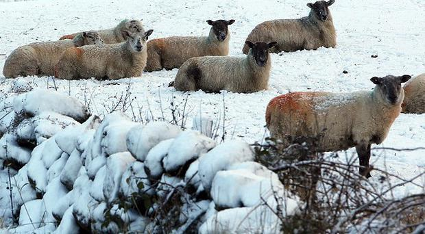 Sheep in the hills above Glenarm in Co Antrim, as the first snowfall of the season covered parts of the province