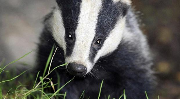 The Government's badger cull pilot in Gloucestershire has been dropped because not enough animals were killed