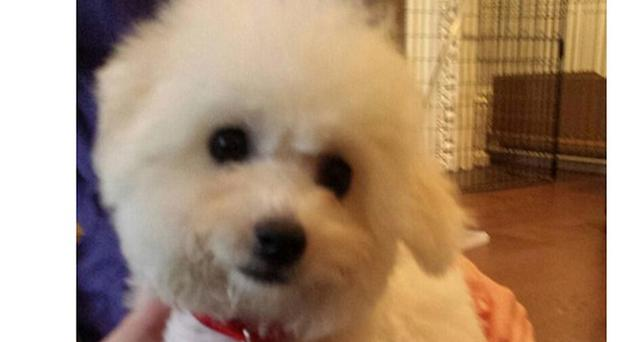 George Osborne has bought a Bichon Frise dog called Lola for his children