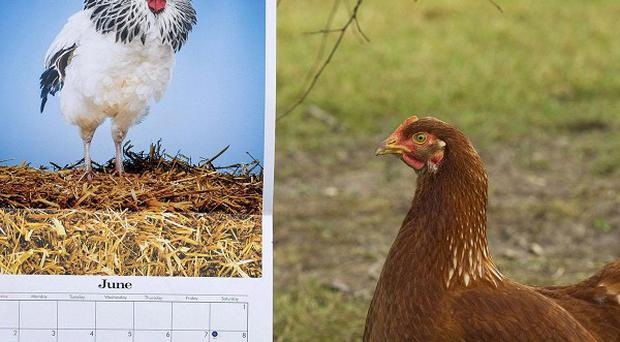 The calendar was produced after research found that hens were calmer in the company of cockerels (Happy Egg Co/PA)