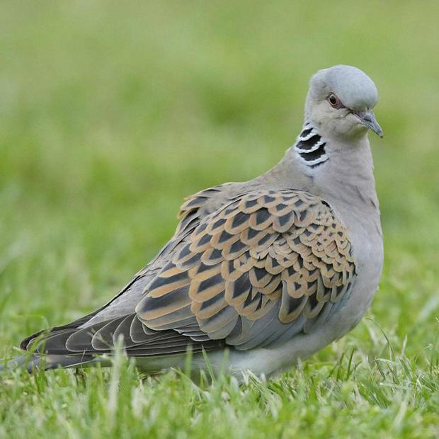 The Turtle Dove is a rare visitor to Northern Ireland