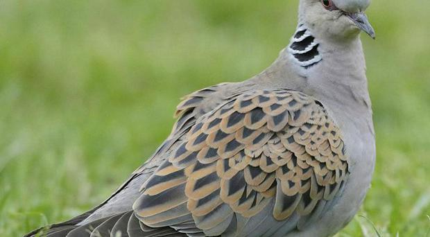 The RSPB said it was particularly worried about the population of the turtle dove (RSPB/PA)