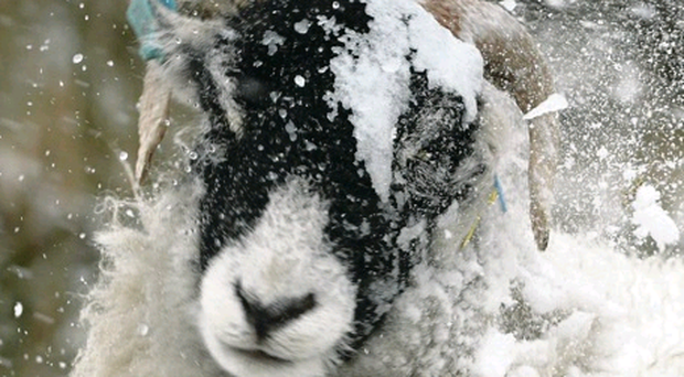 A sheep clears snow from its coat in North Yorkshire
