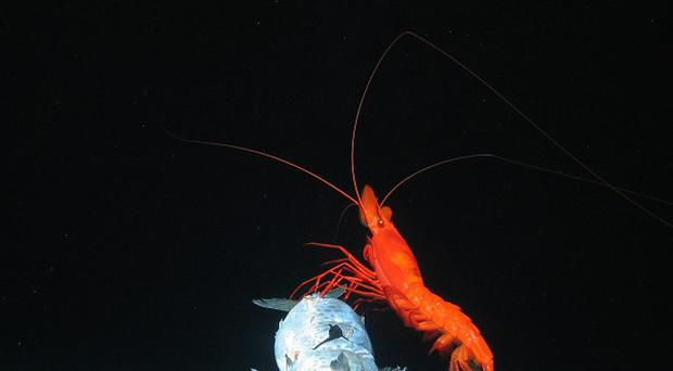 Swarms of bright red prawns were found in the trench (Oceanlab, University of Aberdeen/PA Wire)