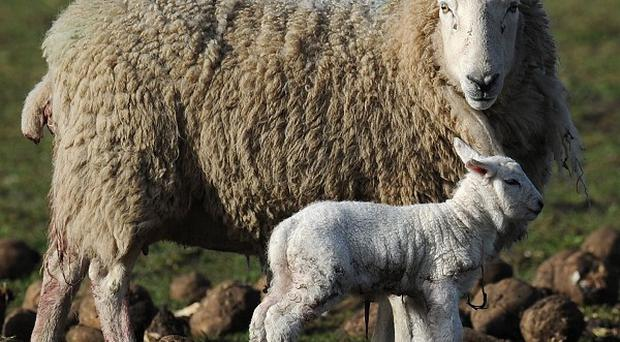 A ewe with her newborn lamb on Barmby Moor, East Yorkshire, during a period of fine spring weather