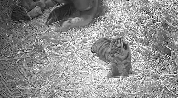 Triplet Sumatran tiger cubs were born at the zoo (Zoological Society of London/PA)