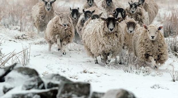 Sheep walk through snow at Nenthead on the Cumbria and Northumberland border