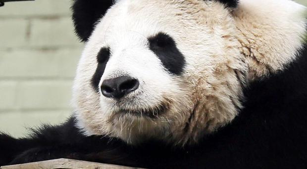 Experts at Edinburgh Zoo say female panda Tian Tian will soon be ready to mate
