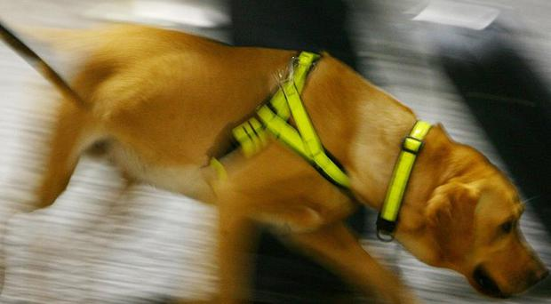 Experimental studies demonstrated that trained sniffer dogs can smell cancer but a so-called electronic nose has proved more reliable