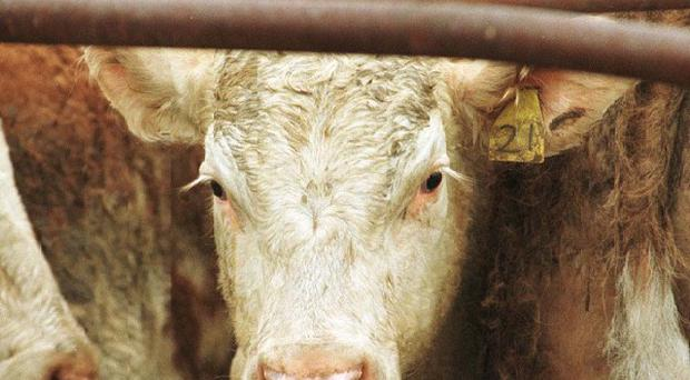 A farmer has received £40,000 in compensation after a low-flying Army helicopter scared his cattle to death. Picture posed