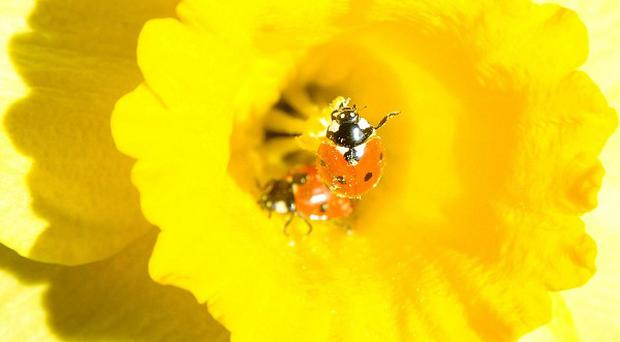 Harlequin ladybirds have been found to prey on other insects including 10-spot and 2-spot ladybirds, scientists say
