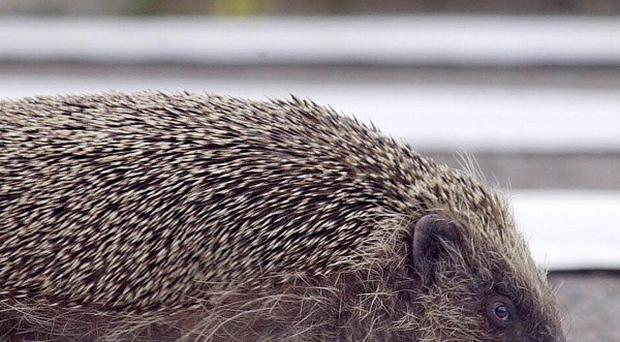 The hedgehog population is in decline