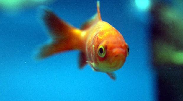 Two men will appear in court accused of eating two goldfish alive, after being charged under the Animal Welfare Act