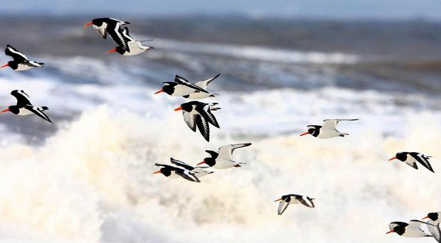 Oystercatcher numbers are down, according to experts