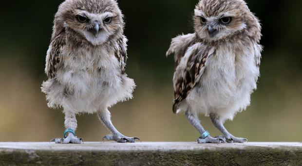 Ant and Dec the burrowing owls
