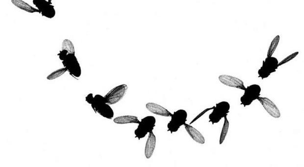 Modified fruit flies could be used to control the wider population and boost agriculture
