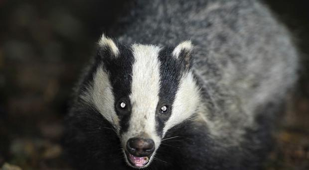 The badger cull policy is the subject of a new legal challenge