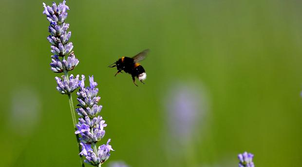 Participants were asked to note how many bumblebees they saw visiting roughly 1ft wide patches of lavender over a period of five minutes